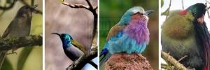 birds-nyungwe