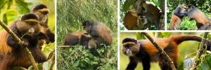 21 Days Gorilla Trekking Uganda Wildlife, Culture, Scenery & Chimpanzee Tracking Safaris Tour