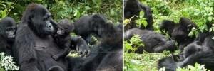 gorilla-families-in-rwanda