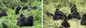 gorilla-families-virunga-volcanoes-rwanda