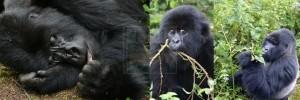 gorilla-trekking-volcanoes-rwanda