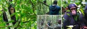 6 days gorilla Safari Rwanda chimpanzee Trekking safaris Tour