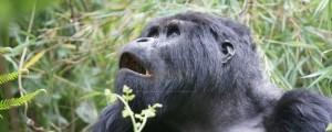 • Rwanda Gorilla Tracking Safaris