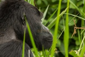 4 Days gorilla safari Rwanda to Volcanoes national park and Nyungwe Forest National Park