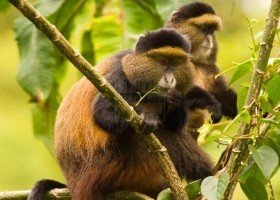 5 Days Volcanoes and Nyungwe National Park primate safari Rwanda