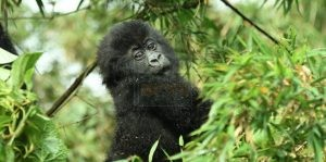 4 Days Uganda Gorilla and Wildlife Safari to Bwindi & Lake Mburo National Park