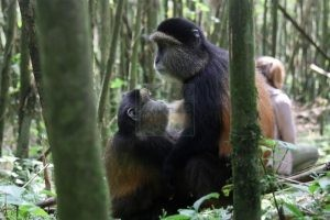 3 Days Gorilla Trekking Safaris Rwanda Golden Monkey Safari Tour
