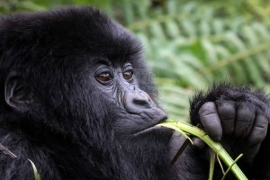 10 Days Gorilla Trekking Safari Uganda Wildlife Safaris Tour