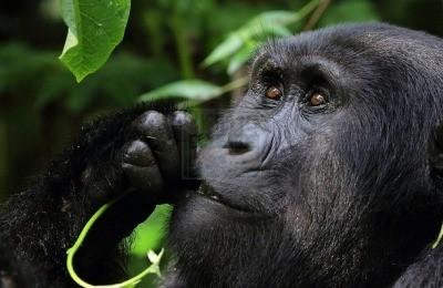 short rwanda gorilla trekking safaris