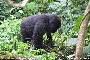 5 days Volcanoes National Park Rwanda gorilla safari and Akagera National Park wildlife safari