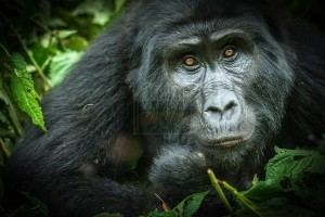 2 days Rwanda gorilla safari in Volcanoes National Park
