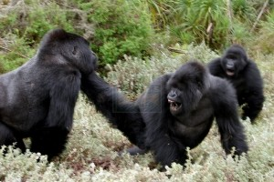 What would prompt a gorilla to fight!