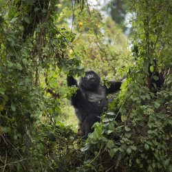 "In this photo taken Friday, Sept. 4, 2015, a mountain gorilla from the family of mountain gorillas named Amahoro, which means ""peace"" in the Rwandan language, forages for food high in a tree in the dense forest on the slopes of Mount Bisoke volcano in Volcanoes National Park, northern Rwanda. Deep in Rwanda's steep-sloped forest, increasing numbers of tourists are heading to see the mountain gorillas, a subspecies whose total population is an estimated 900 and who also live in neighboring Uganda and Congo, fueling an industry seen as key to the welfare of the critically endangered species as well as Rwanda's economy. (AP Photo/Ben Curtis)"