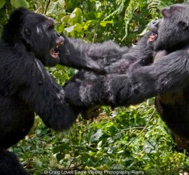 B386XK Play fighting creates a pecking order in MOUNTAIN GORILLAS  of the KWITONDA GROUP in VOLCANOES NATIONAL PARK RWANDA AFRICA