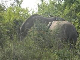 4 Days Gorilla Trekking Safari Uganda Wildlife Safaris to Queen Elizabeth & Bwindi Parks