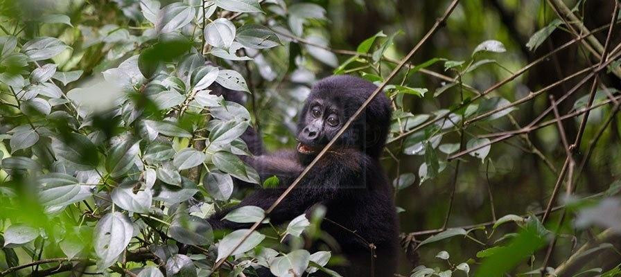 7 Days Primate Safari Uganda Gorilla trekking & Chimpanzee Tour