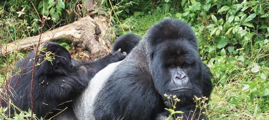 3 days Gorilla Trekking Safari Tour Bwindi Impenetrable Forest