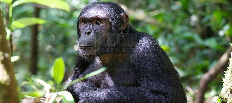 15 days Uganda Rwanda Gorilla Safari, Chimps trekking & Wildlife Highlight Tour