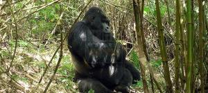 4 days Gorilla Trekking Tour Uganda Bwindi & Rwanda Volcanoes