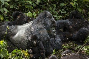 long rwanda gorilla trekking safaris