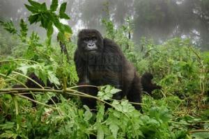 uganda safaris tours 8 Days Gorilla Trekking Safari Rwanda