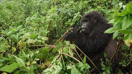 4 Days Gorilla Safari Rwanda