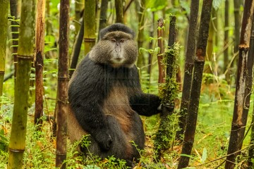Golden Monkey Tracking in volcanoes national park rwanda