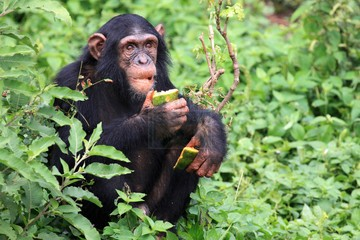 5 Days Chimpanzee trekking Safari